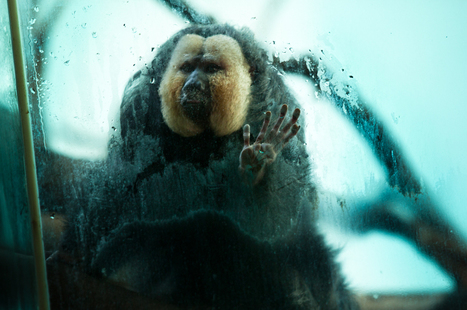 """""""Captive"""": The unnatural, uncomfortable reality of zoos - Salon   Animals in captivity - Zoo, circus, marine park, etc..   Scoop.it"""