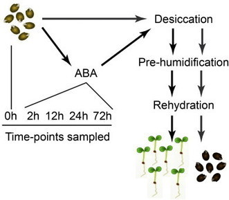 New WSL publication: Time-series analysis of the transcriptome of the re-establishment of desiccation tolerance by ABA in germinated Arabidopsis thaliana seeds - Genomics Data 5, 154-156 | Wageningen Seed Lab | Scoop.it