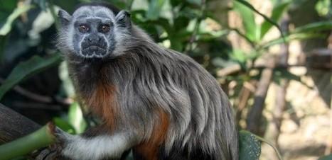 ABC del Finkero – Primates en nuestras fincas: tití gris   Fincas en Colombia   Scoop.it