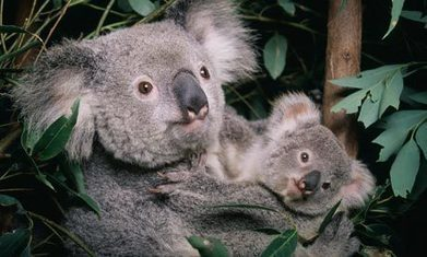 Climate change compounds rising threats to koala | Climate change challenges | Scoop.it