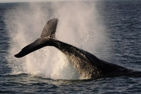 Bottoms up: how whale poop helps feed the ocean | Masada Geography | Scoop.it