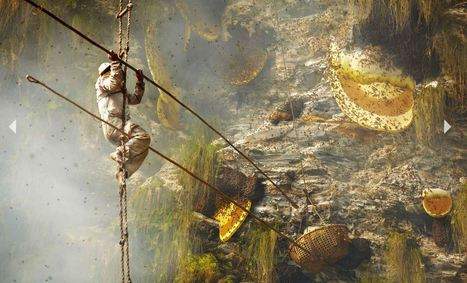 Népal: Les chasseurs de miel de l'extrême - 20minutes.fr | Abeilles, intoxications et informations | Scoop.it