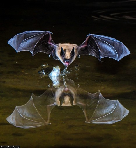 Bats check out their image in a pond as they swoop in to feed at night | Bat Biology and Ecology | Scoop.it