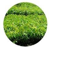 Ornamental Nursery Trees manufacturers in Farrukhabad India | sachin nursery | Scoop.it