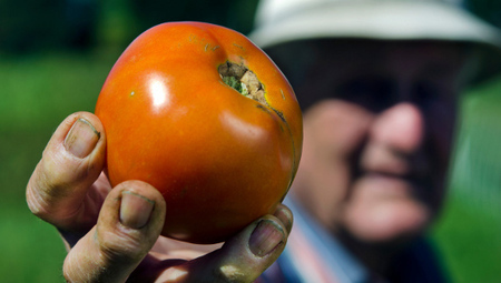 West Virginia gave world indestructible tomato - Mother Nature Network | Science Interests | Scoop.it