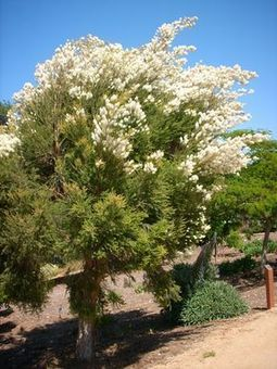Huile essentielle Arbre à thé (Tea tree) | Huiles Essentiels | Scoop.it