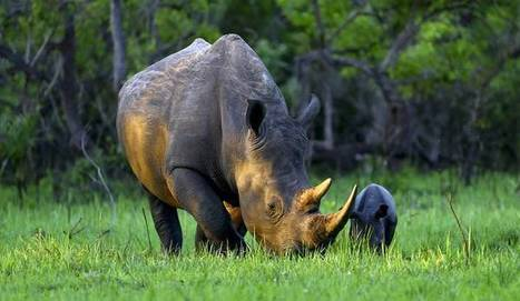 Op-Ed: Rhino hunting is not compatible with conservation   Daily Maverick   Volunteer in Africa   Scoop.it