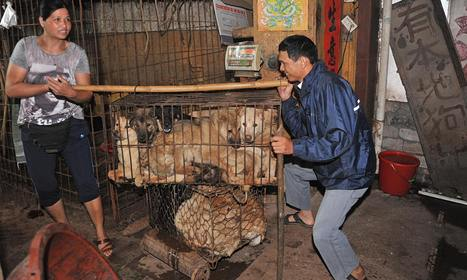 Chinese city holds dog-meat festival early to avoid animal-rights protests   Animal rights   Scoop.it