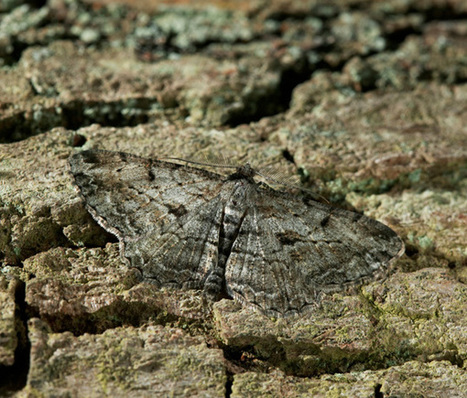 Moths know how to melt into the background   Social Foraging   Scoop.it