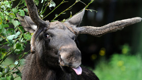 Massachusetts Drivers Warned About Amorous Moose - CBS Local | CPR, BLS, ACLS Instruction | Scoop.it