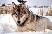 Animal welfare groups sue to restore wolf protection - Duluth News Tribune   Animals R Us   Scoop.it