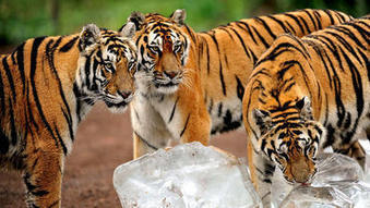 Siberian tigers making a comeback in China - Los Angeles Times | Cats Rule the World | Scoop.it