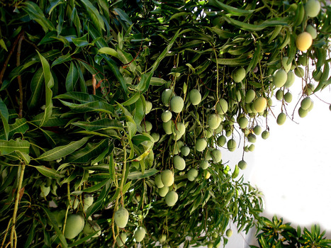 Could wild mangoes solve the world's chocolate crisis? | Plant Biology Teaching Resources (Higher Education) | Scoop.it