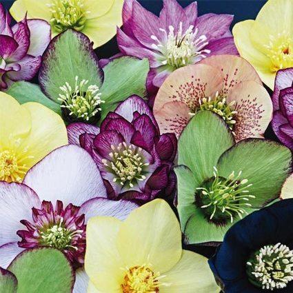 Winter Thriller™ Flowering Helleborus Mix | Springhill Nursery Gardening | Scoop.it