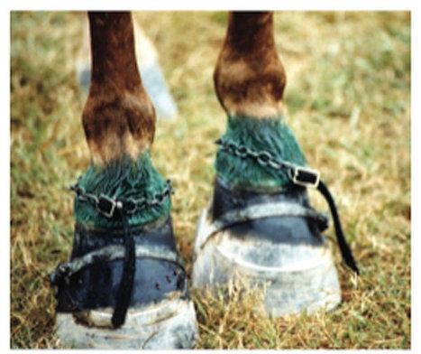 Walking-horse industry not ending abuse | Kentucky.com | GHPhorses | Scoop.it