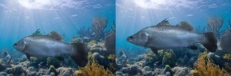 Red Sea Barramundi | National Aquaculture Group (NAQUA) | Scoop.it