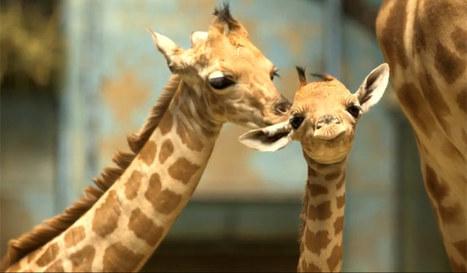 Le (tout nouveau) zoo de Vincennes comme si vous y étiez ! (vidéos) | Aufeminin | Scoop.it