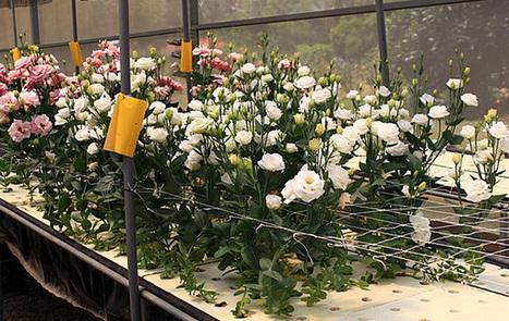 Cultivo de flores por hidroponía | Cultivos Hidropónicos | Scoop.it