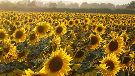 The Mystery Of Why Sunflowers Turn To Follow The Sun — Solved   Notebook   Scoop.it