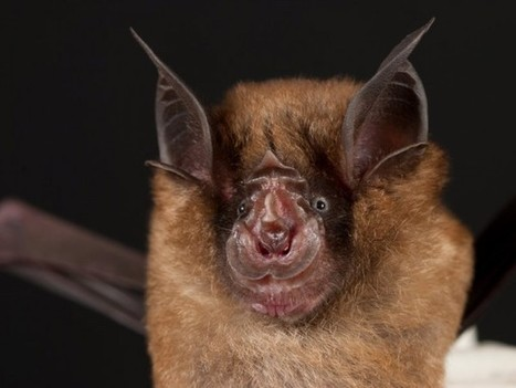 Bats May Be Carrying the Next SARS Pandemic | Science/AAAS | News | Biology | Scoop.it