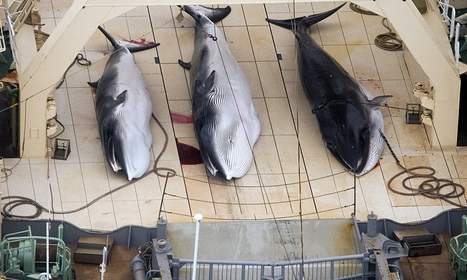 Japan kills 30 minke whales in first hunt since UN court order | Our Oceans | Scoop.it