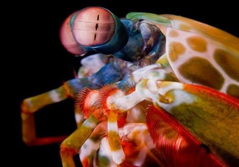 The Mantis Shrimp Sees Like A Satellite / La crevette-mante voit comme un satellite | EntomoNews | Scoop.it