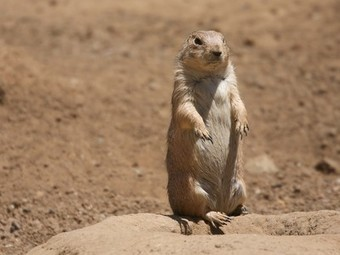 Researcher decodes prairie dog language, discovers they've been talking about us (Video) | Psychologie | Scoop.it
