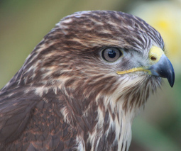 Natural England issues licence to destroy buzzard eggs & nests to protect pheasants | Human-Wildlife Conflict: Who Has the Right of Way? | Scoop.it