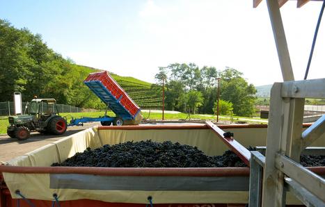 Alsace : lentes vendanges dans la sérénité | Gastronomy & Wines | Scoop.it