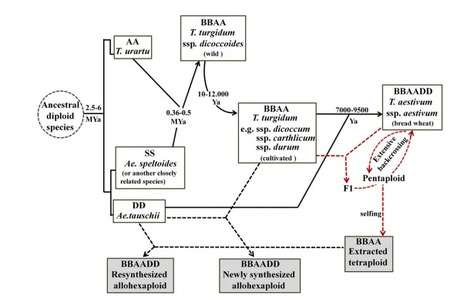 Evolution of the BBAA Component of Bread Wheat during Its History at the Allohexaploid Level | Emerging Research in Plant Cell Biology | Scoop.it