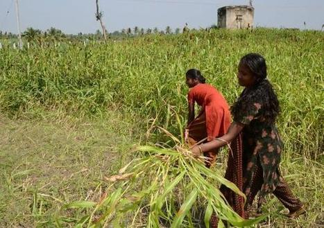 Inda: Maize, new favourite of Cuddalore farmers | MAIZE | Scoop.it