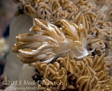 Another Coral Mimic | Amocean OceanScoops | Scoop.it