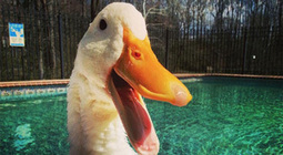 Amputee Duck Gets A 3D-Printed Prosthetic Foot | 3D Printing Daily News | Scoop.it