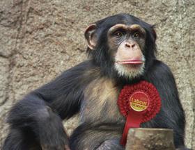 Chimp facing prospect of losing safest Labour seat in Scotland | NewsBiscuit | Upsetment | Scoop.it