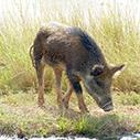 DEPI - Pig (feral or wild)   Feral Pigs   Scoop.it