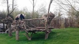 Brugelette: non, la femelle panda n'attend pas un petit   Pays Vert   Scoop.it