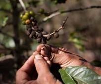 Suben exportaciones de café salvadoreño | starMedia | Café | Scoop.it