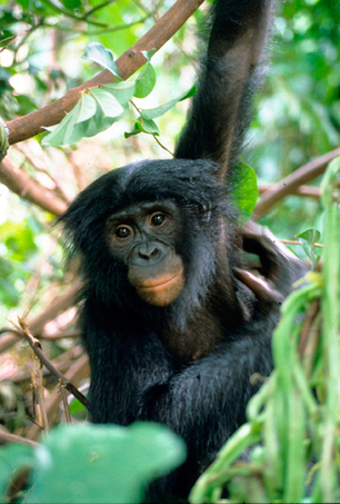 Is the trade in bush meat and apes responsible for spread of Ebola virus? | Virology News | Scoop.it