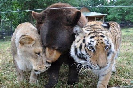 Heartwarming Photos Of The Inseparable Friendship Between A Bear, Lion & Tiger - DesignTAXI.com | Communication design | Scoop.it