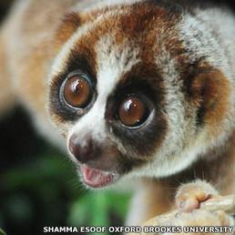 Descubren primate de mordida mortal para los humanos - Fundación Moisés Bertoni | Agua | Scoop.it