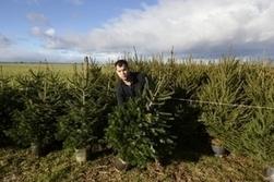Loués pour être replantés, ces sapins ne meurent pas à Noël | Le flux d'Infogreen.lu | Scoop.it