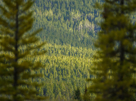 The Rapid and Startling Decline of World's Vast Boreal Forests | The Tyee | Farming, Forests, Water, Fishing and Environment | Scoop.it