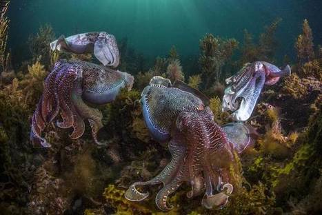 Rise of the cephalopods! Octopuses, cuttlefish, and squid booming in changing environment | In Deep Water | Scoop.it