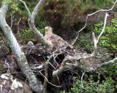 Tweet from @UllapoolQueen   British Birds of Prey   Scoop.it