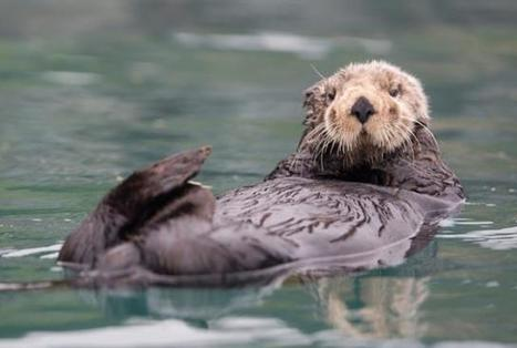 How Otters' Unique Fur Keeps Them Warm in Frigid Waters | Planet Earth | Scoop.it