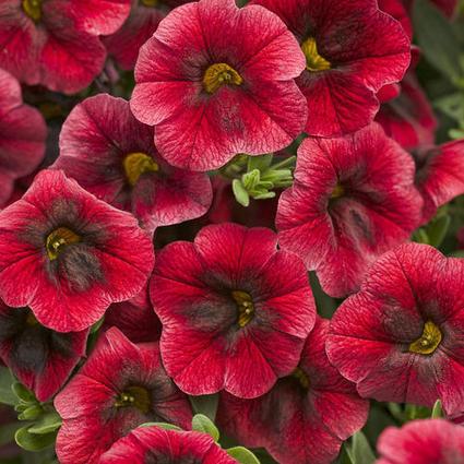 Proven Winners   Superbells® Pomegranate Punch - Calibrachoa hybrid   Annie Haven   Haven Brand   Scoop.it
