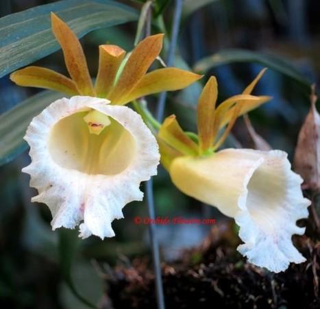 Galeandra leptoceras Schltr. 1920 | Orchids & Flowers | Scoop.it