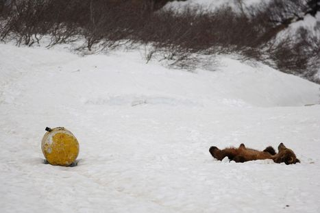 Junkie Russian bears get high by sniffing fumes from discarded barrels of aircraft fuel | Quite Interesting News | Scoop.it
