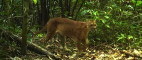 Jungle cats caught on camera in Belize | Belize in Social Media | Scoop.it