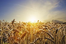 The Heat Is On for Farmers - Wall Street Journal | CGIAR Climate in the News | Scoop.it